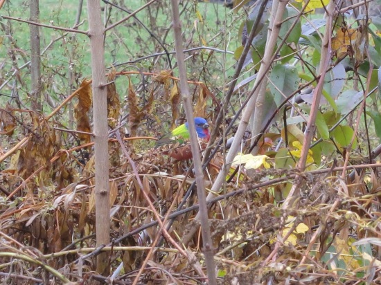 Painted Bunting in Brooklyn - Prospect Park