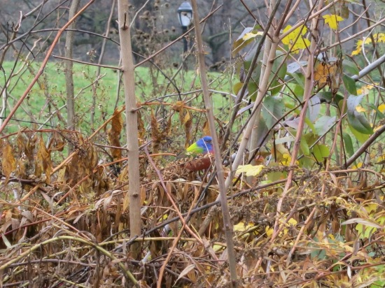 Adult male painted bunting in Prospect Park, Brooklyn
